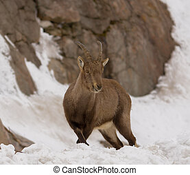 Young Ibex on a mountain slope in the winter