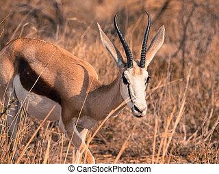 Young impala in Etosha Nationa Park