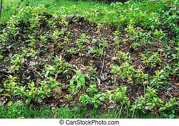 Young Ixora flower in garden