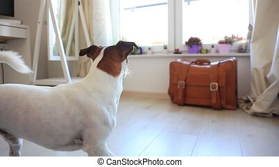 Young jack russell terier dog looking in a window waiting...