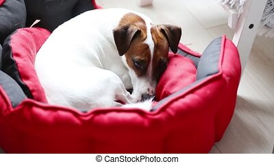 Young jack russell terrier lying down in a bed