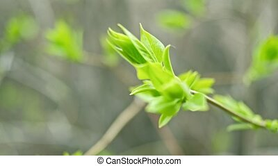 Young juicy green leaves on the branches of a birch in the...