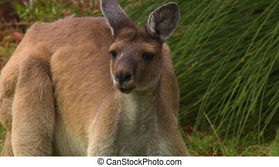 Handheld, close up shot of a young kangaroo flopping its ears around.
