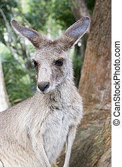 Young kangaroo upclose - A upclose view of a young kangaroo...