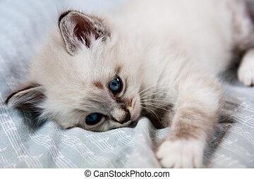 Young kitten blue eyes