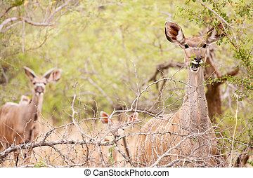 Young Kudu grazing in the wild