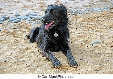 Young labrador at the beach