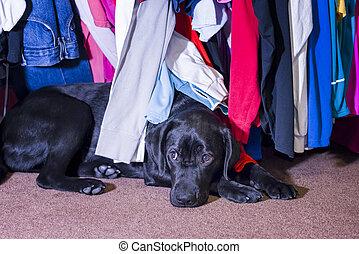 Young labrador hiding under a clothes rack - Cute young...
