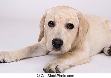 Young Labrador just laying on the floor