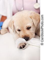 Young labrador puppy with bandage on its leg at the veterinary doctor