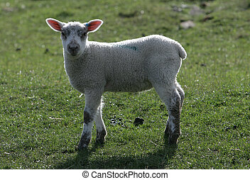 Young Lamb in a field
