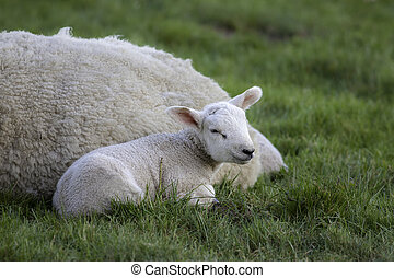 Young lamb laying by mother sheep in a field