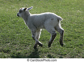 Young Lamb running in a field