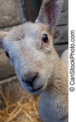 young lamb standing in straw