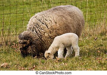 Young Lamb with Ewe mother Sheep