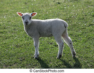 Young Lambs in a field