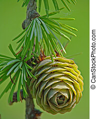 Young larch pinecone