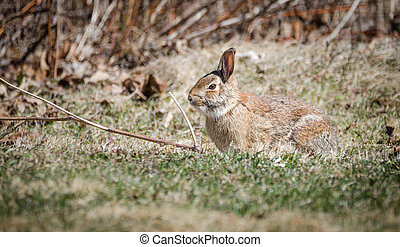Large cotton tail rabbit in grassy field in very early spring, warming in March sunlight.