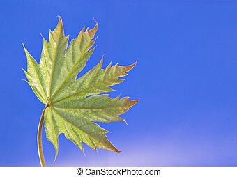 Young leaf