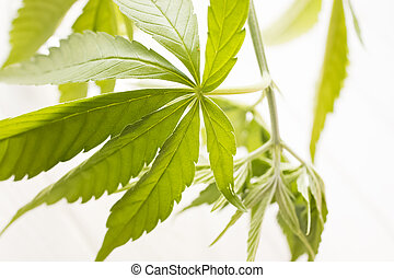Young leaf of marijuana plant close-up.