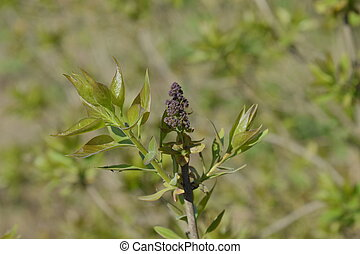 Young leaves and buds of lilac. Blossoming buds of lilac