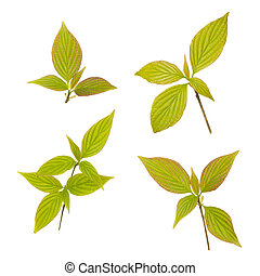 Young leaves - Green young leaves isolated on white ...