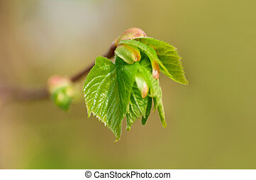young leaves in spring on a branch