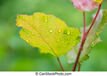 young leaves in the rain