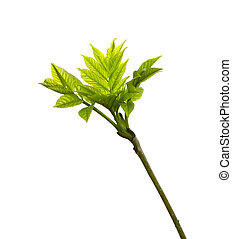 young leaves, isolated