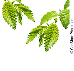young leaves isolated