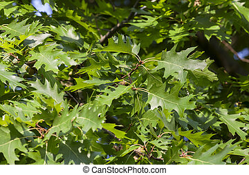 Young leaves oak - Young leaves on old oak tree in the ...