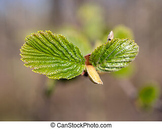 young leaves of alder in spring close up
