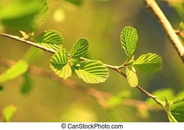 leaves of alder in the spring