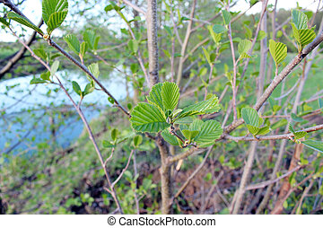 young leaves of alder in the spring