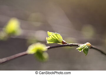 Young leaves of birch tree in spring time