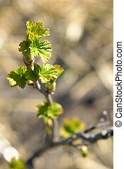 Young leaves of blackcurrant in early spring