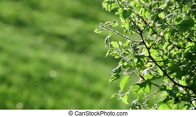 Young leaves of bush in a backlight - Young leaves of a bush...