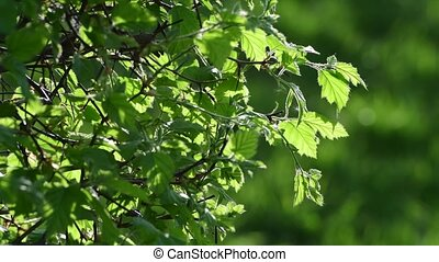 Young leaves of bush in a backlight