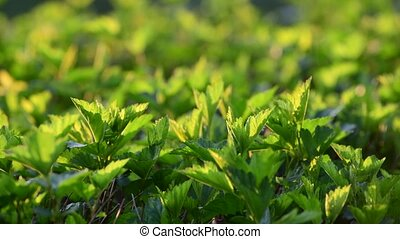 Young leaves of bush in backlight