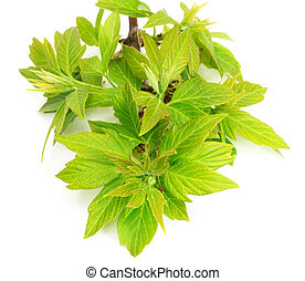 young leaves of maple on a white background