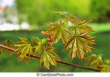 Young leaves of maple.