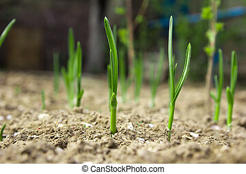 Young leaves of onions on the earth