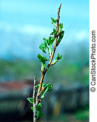 young leaves of raspberry. close up