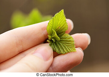 Young leaves - Young green leaves in a female hand