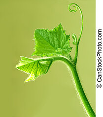 Young Leaves - Young green leaves on vine for nature ...