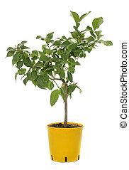 young lemon tree