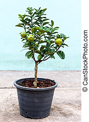Young lemon tree in pot