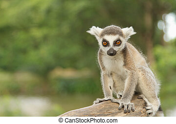 young lemur in the open zoo