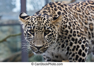 Young leopard - Close-up of face and torso of beautiful ...