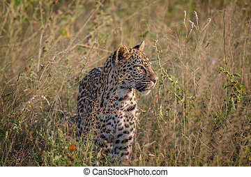Young Leopard standing in the grass.
